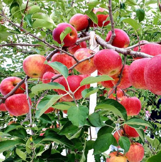 โตเกียว TOHOKU AUTUMN FRUIT FARM