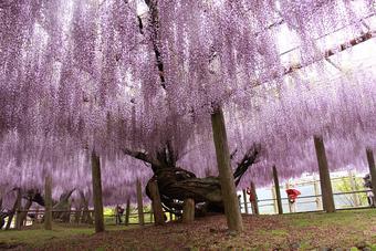 ทัวร์ญี่ปุ่น FLOWER IN KYUSHU (WISTERIA)