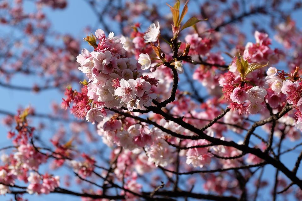 ทัวร์ญี่ปุ่น โตเกียว ฟูจิ Sakura Festival Tokyo Fuji Sakura 4วัน3คืน By XJ