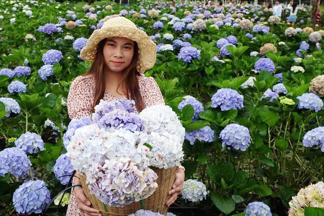 ชมทุ่งดอกไฮเดรนเยีย นาขั้นบันได จ.เชียงใหม่  3วัน 1คืน