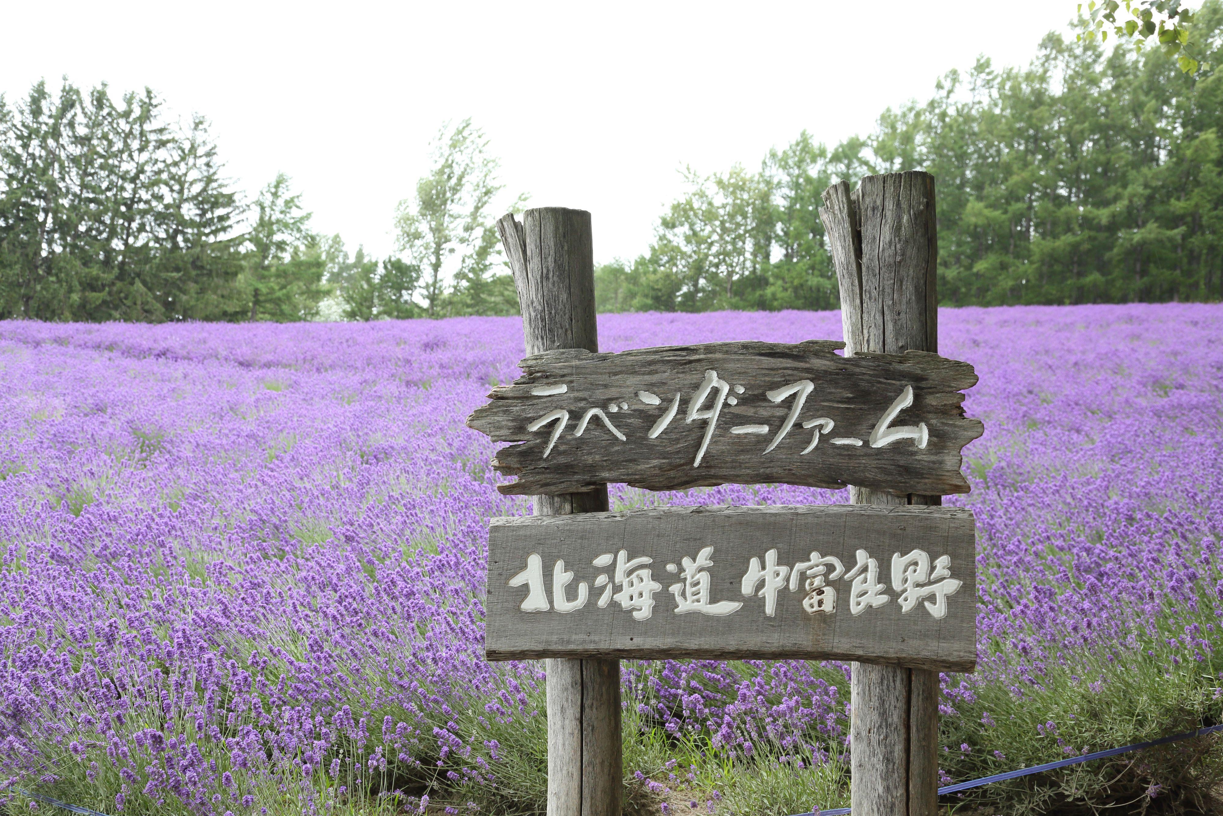 ทัวร์ญี่ปุ่น ฮอกไกโด ซัปโปโร  ทุ่งดอกลาเวนเดอร์ โทมิตะฟาร์ม